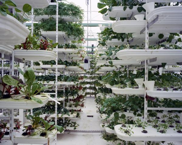 <em>Lettuce, 2011:</em> Lettuce is grown in a stacking system to provide a maximum use of space. Plants grow inside of plastic trays without soil. A conveyor belt is moving the plants to ensure they get all round sunlight. The whole growing process is computer controlled.