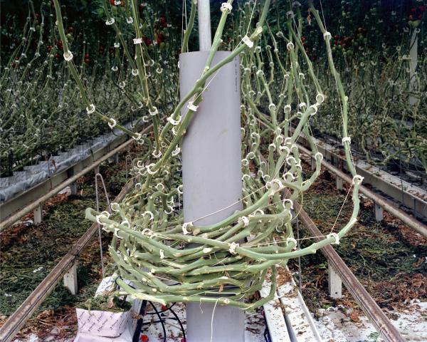 <em>Tomato Vines, 2012</em>