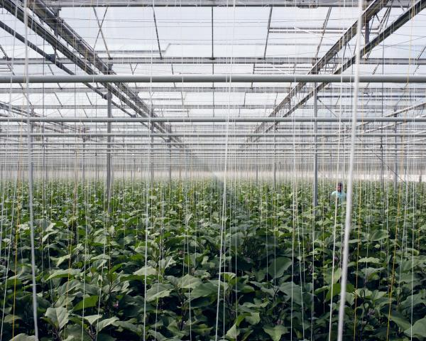 <em>Eggplants, 2012:</em> A computer manages precisely the irrigation, the nutrients given to the plants and also the climate inside the greenhouse. Automatically windows open, sunscreens move, and waste, water and nutrients are collected, purified, and recycled.