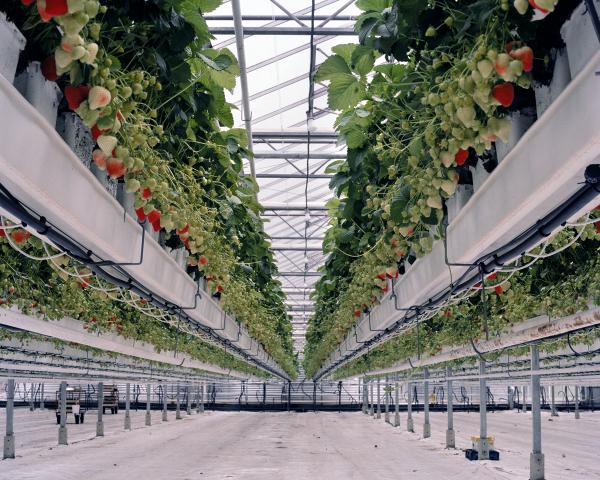 <em>Strawberries II, 2012:</em> Strawberry crops are grown on tabletop-raised beds. The tabletop system makes it easier to pick the fruits and eases the weed and pest control. A leaf and sap analysis determines the nutrient's compound, which is fed with the irrigation water. To accelerate the growth of the plants, growers above add CO2 from a close-by Shell refinery.