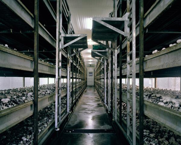 <em>Mushrooms, 2012:</em> To allow an all-year-round production of mushrooms and to increase the yield, mushrooms are grown in a microclimate inside growing rooms. A stacking system maximizes the production per square meter.