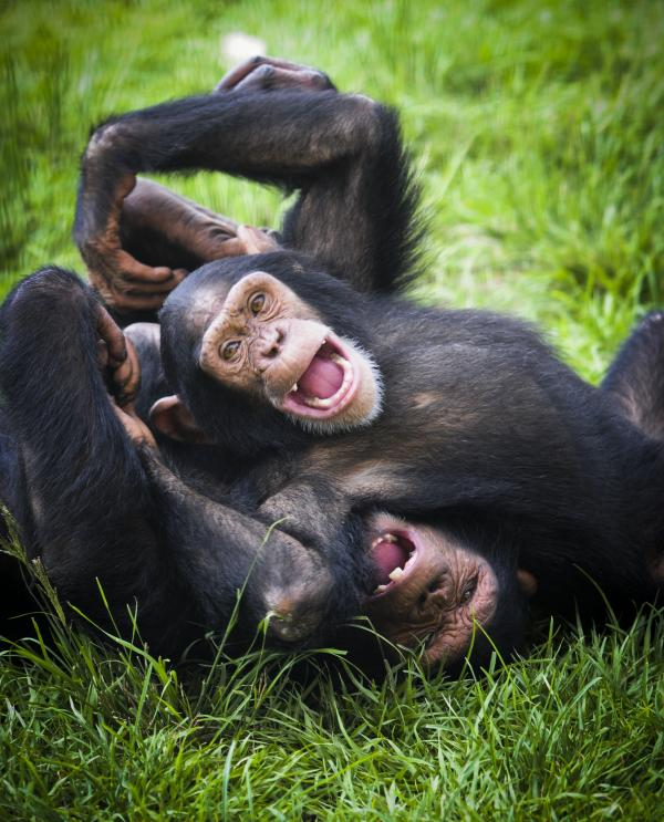 Jude and JB play at Save the Chimps. The facility is home to 266 chimps.