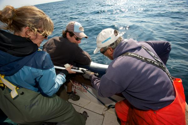 Shark charter operator Art Gaeten (right) and recreational shark fisherman Shawn Knowles struggle to hold a blue shark in position while shark biologist Anna Dorey attaches a satellite tag to its back. Researchers say about five blue sharks are caught for every one swordfish. Scientists are trying to determine what happens to the sharks after they are released.