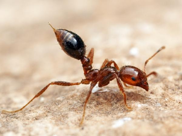 The sting of <em>Solenopsis invicta</em>, the red imported fire ant, is well known to many in the Southern United States, but immunotherapy is possible.
