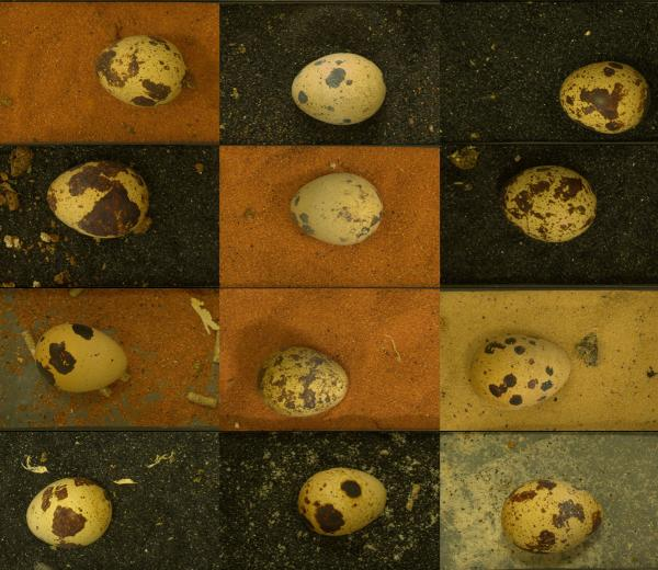 Most of the time, researchers say, the quail chose to lay their eggs in the color of sand that best hid the color pattern of their eggs. Quail eggs are not much larger than a quarter.