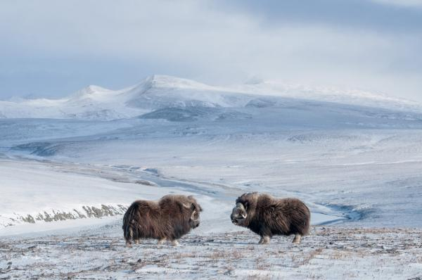 Musk oxen, more akin to goats and sheep than to oxen, were introduced to Wrangel Island in 1975 and now number about 800. In September, with mating season underway, bulls engage in frequent head-butting confrontations to establish dominance.