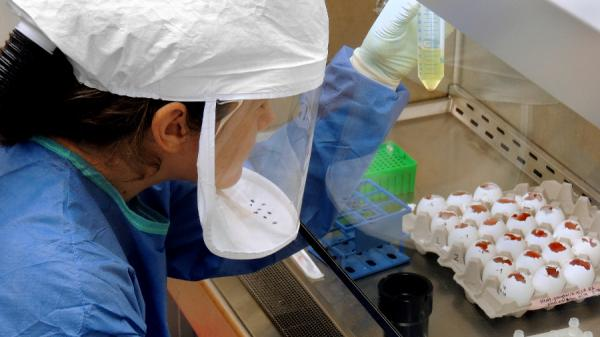 A scientist harvests H7N9 virus growing in bird eggs. The Centers for Disease Control and Prevention received samples of the virus from China in March.