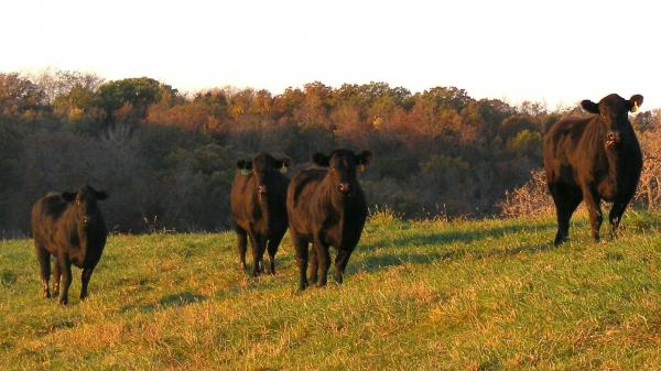 Heifers at Timber Ridge Cattle Co., an operation in Osceola, Iowa, that feeds some of its cattle flaxseed.