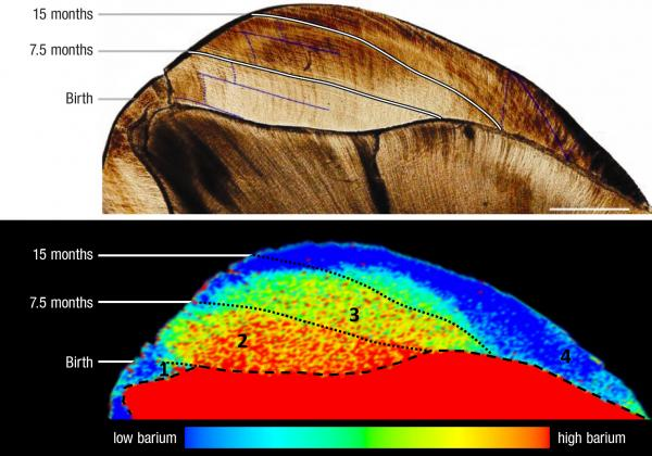 Top: Lines on a 100,000-year-old Neanderthal tooth mark the passage of time. Bottom: The distribution of barium shows dietary transition: low barium before birth (1), high barium during breast-feeding (2) and falling barium as the Neanderthal transitions to a mixed diet (3).