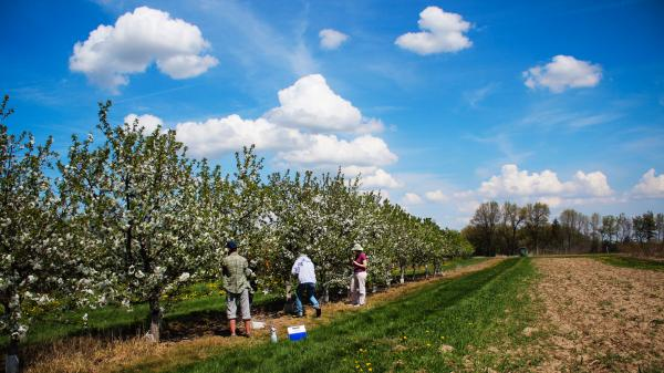 At Michigan State University's Clarksville Research Station, researchers apply pollen by hand to tart cherry blossoms, in order to breed new varieties.