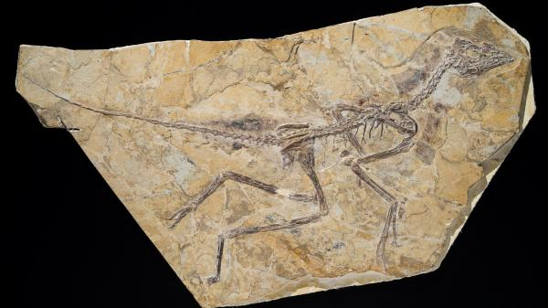 A photo released by the Royal Belgian Institute of Natural Sciences shows the skeleton of a recently discovered dinosaur dubbed <em>Aurornis xui</em>.