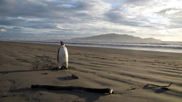Back in June, Happy Feet showed up on Peka Peka Beach in New Zealand.