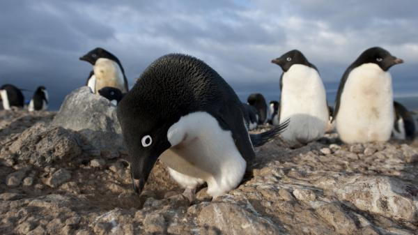 An Adelie penguin male builds a stone nest in anticipation of the females' arrival. The males compete over the precious stones, often resorting to stealing to get the best ones.