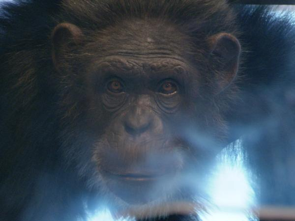 <em>Surviving Progress </em>contrasts the problem-solving abilities of humans with that of chimps, like this one at the Cognitive Evolution Group research center in New Iberia, La.