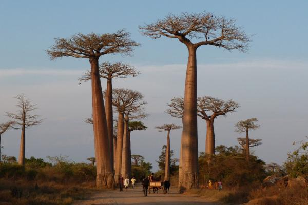 "More baobabs, these in Madagascar, because they really are the coolest. The ""Avenue of the Baobabs"" was designated as a protected zone in 2007."