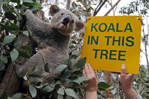 Eucalyptus trees, 'cause, duh: koalas.
