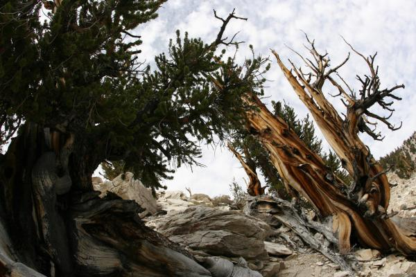 The ancient bristlecone pine trees are thought to be the oldest in the world. The Methuselah in California, more than 4,800 years old, is considered the oldest, named after the Biblical figure with the longest lifespan.