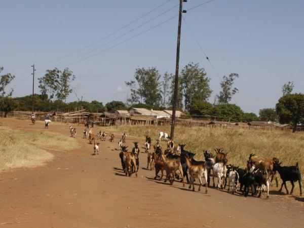 A herd of goats in the village of Ruasse. Notice the power lines — Ruasse is lucky to have them. Many villages in northern Mozambique don't have access to electricity.