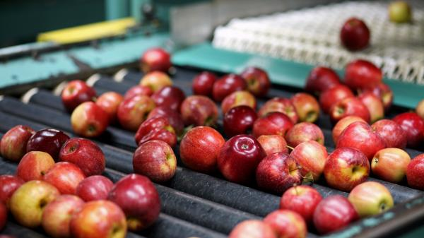 The Michigan Gala apples on this packing line will soon be in short supply. After a mild fall and winter, then a late-April freeze, Michigan's apple cultivation has dropped 90 percent.