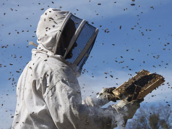 Trucked by the millions across countries and continents in the service of massive fruit-farming operations, honeybees are as essential to the global economy and the food chain as they are to the production of honey.