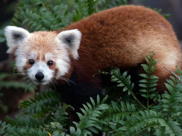 """Rusty the Panda"" spent part of Monday on the loose in D.C. He was spotted by residents in a neighborhood next to the National Zoo's grounds."