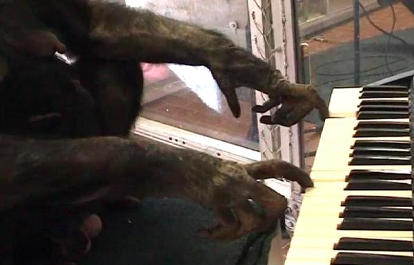 A female bonobo plays a computerized keyboard in a duet with musician Peter Gabriel. (Screenshot from video)