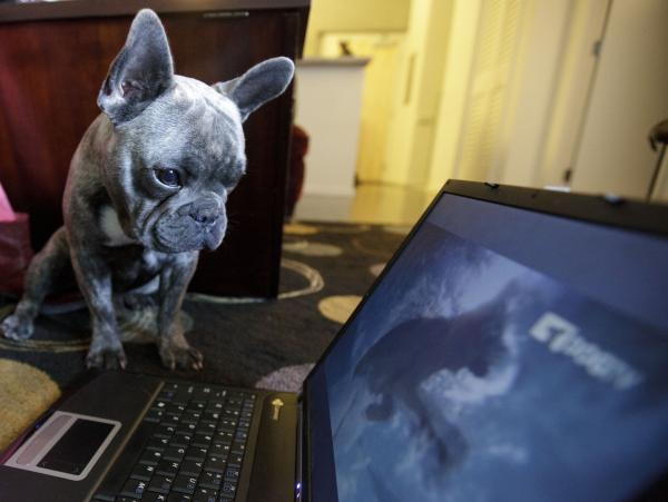 Bleu, a French bulldog who lives in San Diego, watches DogTV during the network's initial months online and on cable outlets in Southern California, in April 2012.
