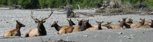 Roosevelt elk on a river gravel bar in Olympic National Park.