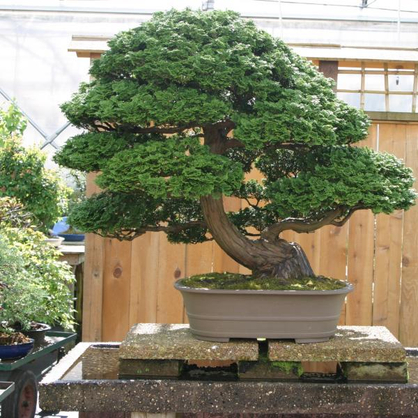 "A Hinoki cypress at Brussel Martin's bonsai nursery in Mississippi. He has nurtured it for 40 years, which is half its life. ""I turned down $40,000 for it a year ago,"" Martin says. ""It is worth twice that. I call it Big Bertha."""