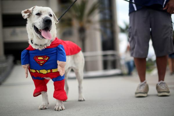 Beckham the dog sports a Superman costume during Comic-Con on July 19, 2013 in San Diego. For Comic-Con, this is perfectly normal.