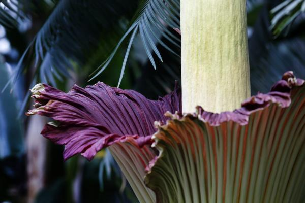 The color of the corpse flower is similar to that of rotting flesh and raw meat.