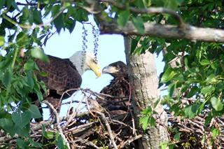 A bald eagle adult and chick in a nest in Hamden, Conn. (Michael Lejeune/WNPR)