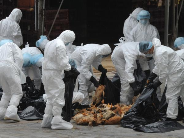 Chickens were killed in Hong Kong last December in an effort to halt the spread of the deadly H5N1 strain of bird flu.