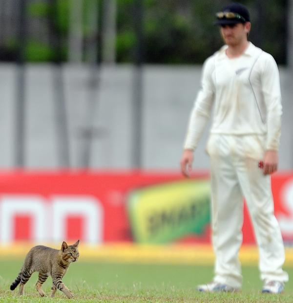 <strong>Here Kitty:</strong> New Zealand cricketer Kane Williamson looks on as a cat walks on the outfield during a test match between Sri Lanka and New Zealand.