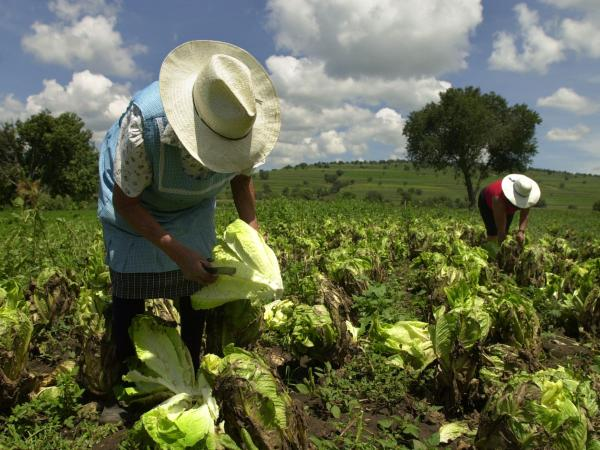 "Farmhands at work in Tlaxcala, Mexico. The FDA said Saturday it would step up its surveillance of ""green leafy products"" from Mexico, after a rare parasite linked to a lettuce supplier there caused illness in more than 400 people in 16 U.S. states."