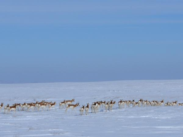 A herd of pronhorn antelope stretches across the snowy landscape of the Cheyenne River Indian Reservation.