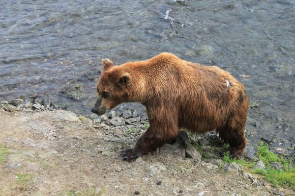 Kathy gets up close with a bear in Alaska. (Kathy Gunst/Here & Now)