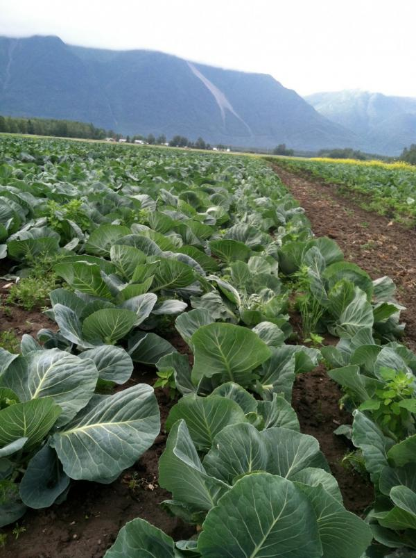 Alaskan farms grow hearty winter vegetables. (Kathy Gunst/Here & Now)