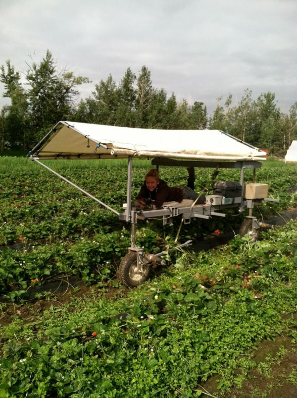 Strawberry picking in Alaska. (Kathy Gunst/Here & Now)