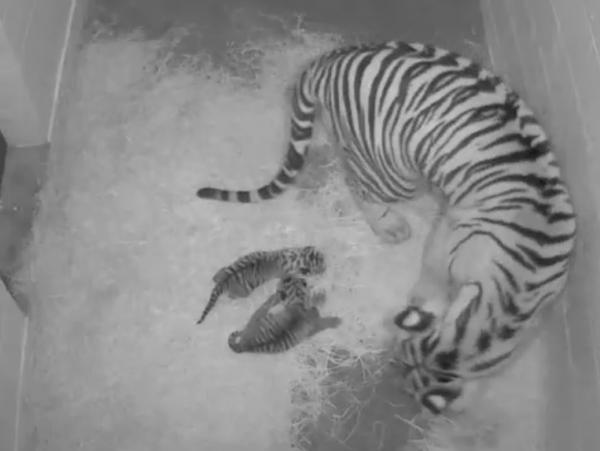 A Tigercubcam view of the new cubs, born at the Smithsonian's National Zoo on Monday.
