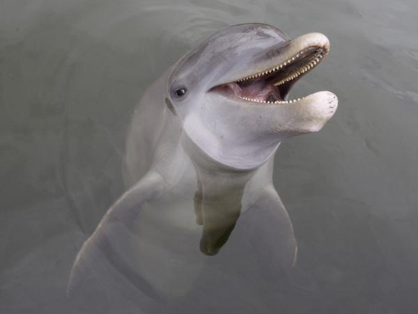 An Atlantic bottlenose dolphin at the Dolphin Research Center on Grassy Key in Marathon, Fla., in July.