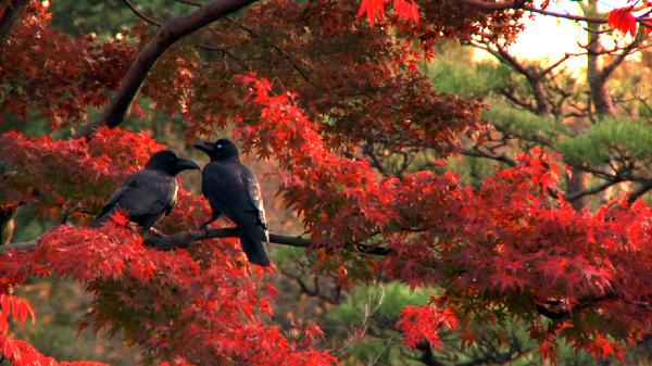 More than 20,000 crows, by recent estimates, live alongside the 13 million human inhabitants of Tokyo; <em>Tokyo Waka</em> tells their story — and meditates on the meaning of their persistence in one of the world's greatest cities.