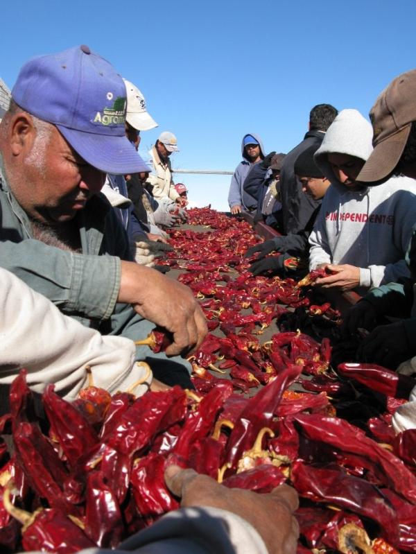 Workers pack red chilies for shipment to New Mexico on the LeBaron family farm.