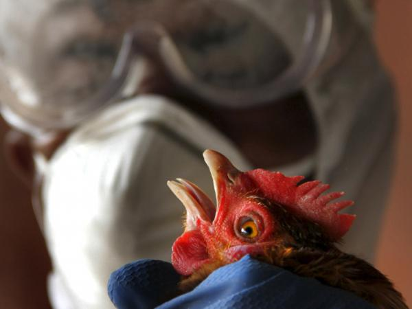 An health official wearing protective gear culls a bird at a poultry farm after a naturally occurring bird flu virus was detected near Agartala, India, in January.