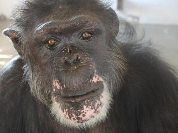 "<a href=""http://www.savethechimps.org/index.cfm?fuseaction=photo.album&id=196"">Rufus</a>, 46, now <a href=""http://www.savethechimps.org/islands-in-the-sun"">lives on an island</a> in a Florida sanctuary run by Save the Chimps. Before his rescue, Rufus lived in a facility Save the Chimps calls ""the dungeon."""