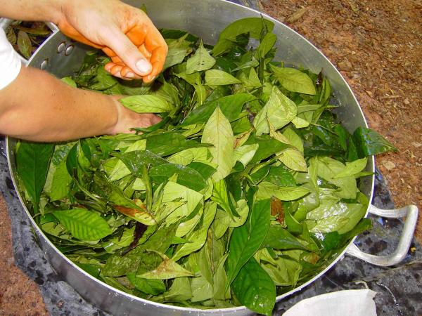 Ayahuasca brew used in South and Central America.