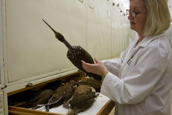 Dove has a good sense of the species she may be looking for. She pulls out a limpkin (a cranelike bird that lives in Florida) from one of the many drawers in the museum's bird collection to compare its feathers with her sample.