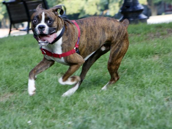 Jack, a cattle dog/boxer mix, plays in Washington, D.C., on Tuesday.
