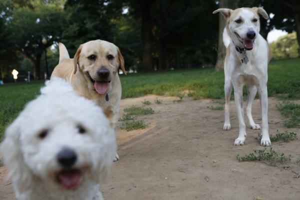 America is a melting pot for dogs just as it is for their human pals. From left, Lola, a schnoodle (schnauzer/poodle combo); Teddy, a retriever; and Cinderella, a mutt from the Bahamas, hang out in Washington, D.C., on Tuesday.