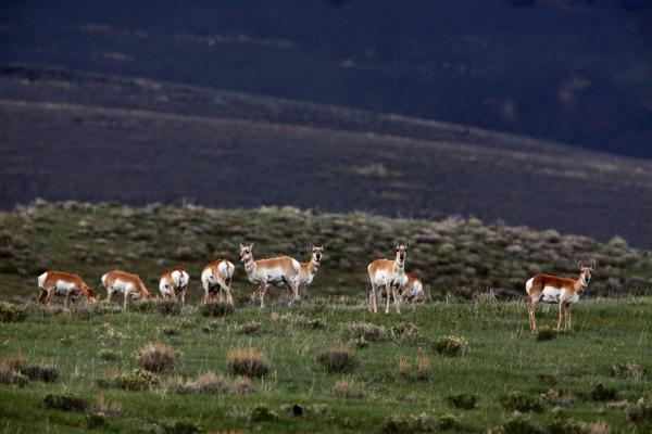 Antelopes stand at alert at the presence of a human visitor in the sparsely populated Centennial Valley of Montana.